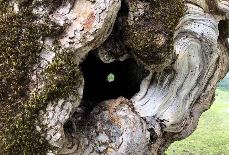 Und dieser uralte Ahornbaum hat einen Durchblick im Stamm - finden Sie ihn?