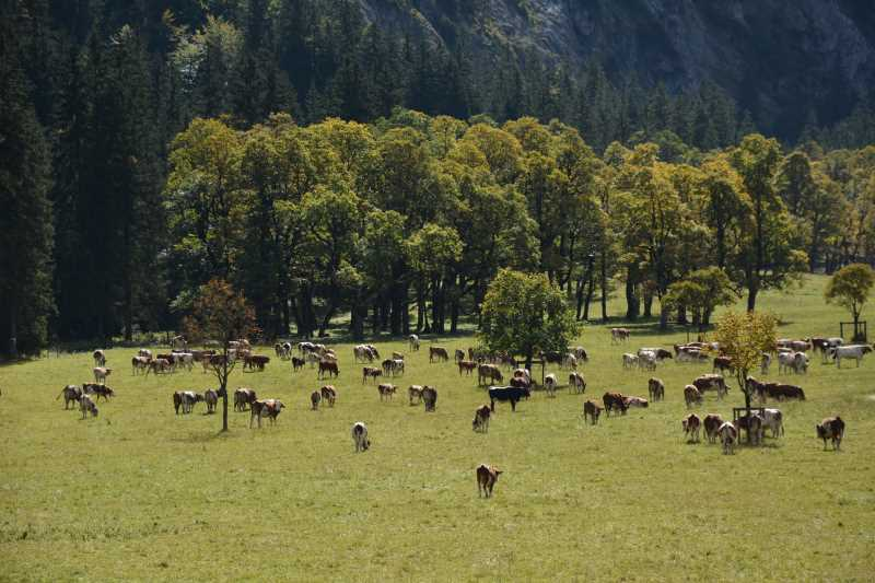 Die Kühe grasen und sorgen dafür, dass der große Ahornboden nicht zuwächst