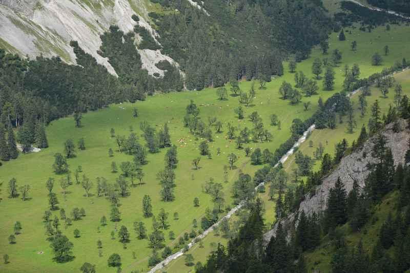 Der Blick auf den Ahornboden von oben bei der Binsalm Wanderung, so klein wirken die Riesen - Ahornbäume samt Kühe