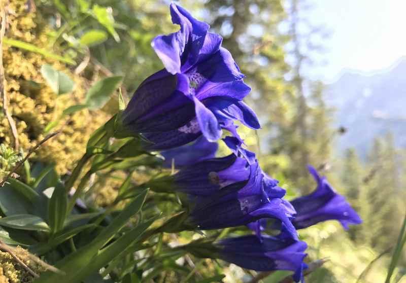 Wo kann man im Karwendel einen Enzian blühen sehen? Im Juni unterhalb der Falkenhütte!