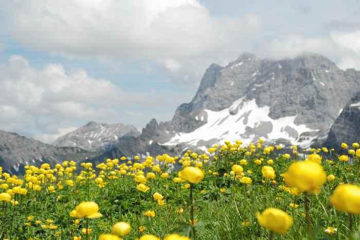 Frühling auf der Falkenhütte im Karwendel - ein Meer an Trollblumen