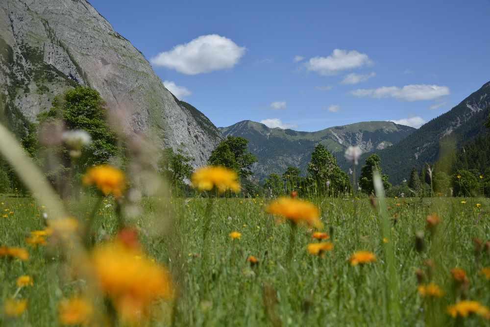 Almauftrieb - sobald die Wiesen genug Gras haben und die Blumen blühen ist der Almauftrieb am Ahornboden