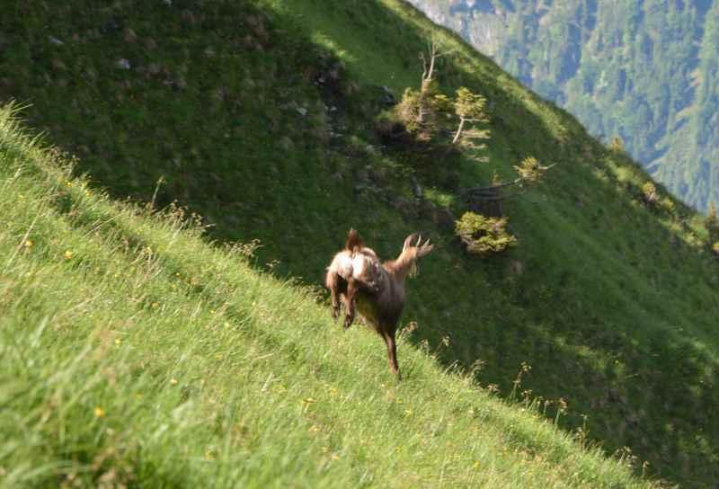 Mit den Gämsen wandern im Karwendel - sie sind schnell und wendig