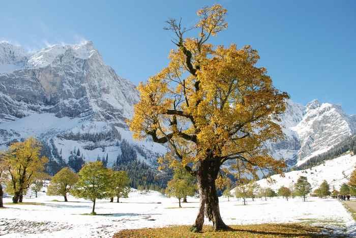 Für uns die schönste Herbstfärbung des Ahorn - die goldgelben Bäume am großen Ahornboden mit dem ersten Schnee im Karwendel