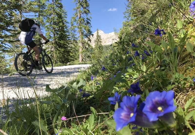 Im Juni blüht der Enzian recht zahlreich neben der MTB Route im Karwendelgebirge