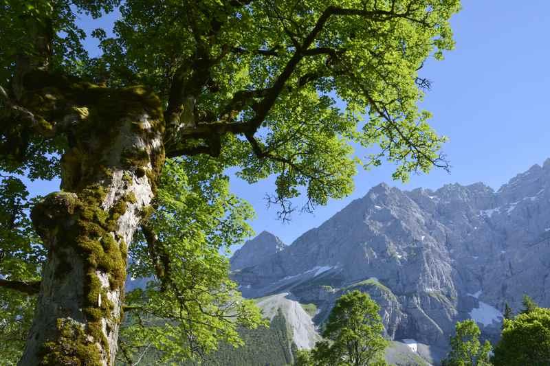 Die uralten Ahornbäume mit dem blauen Himmel und den grauen Bergspitzen