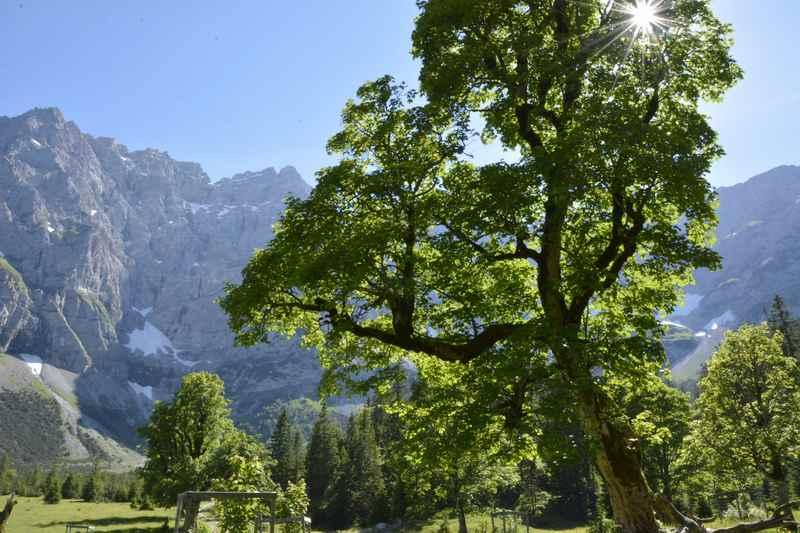 Dieser Ahornbaum am kleinen Ahornboden hat am Stamm über einen Meter Umfang