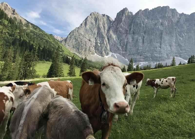 Auch den Kühen gefällt es auf der Sommerweide vor den Lalidererwänden