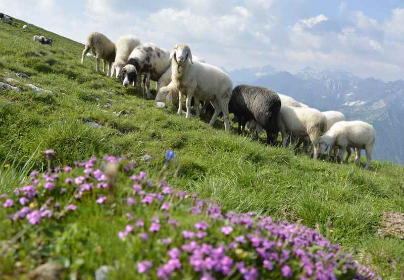 Auf der Wanderung zum Scharfreiter Gipfel treffen wir im Sommer Schafe