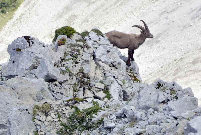 Das war der Steinbock direkt unterhalb vom Schafjöchl im Karwendel