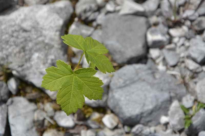 Die jungen Triebe von Ahornbäumen wachsen im Flußbett des Torbach