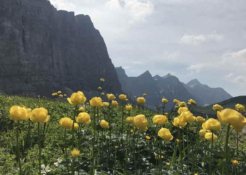 Die gelben Trollblumen am Hohljoch im Karwendel