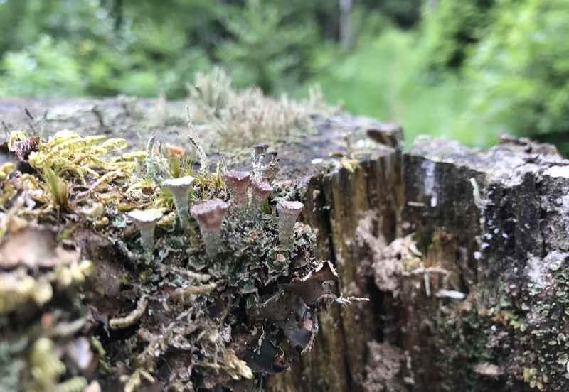 Auf dem Baumstamm wachsen kleine Schwammerln - am Weg zum Jungfernsprung Aussichtspunkt im Karwendel