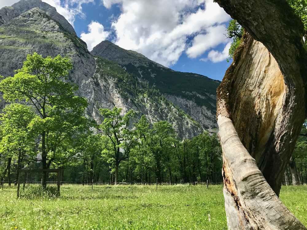 großer Ahornboden im Karwendel - Naturidyll im größten Naturpark von Österreich. Knorrige Baumriesen bilden die Kulisse.