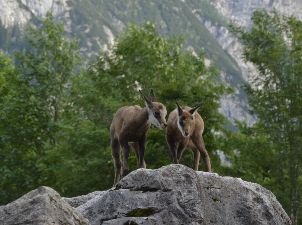 Junge Gämsen beobachten - tolles Erlebnis in der Natur am Ahornboden
