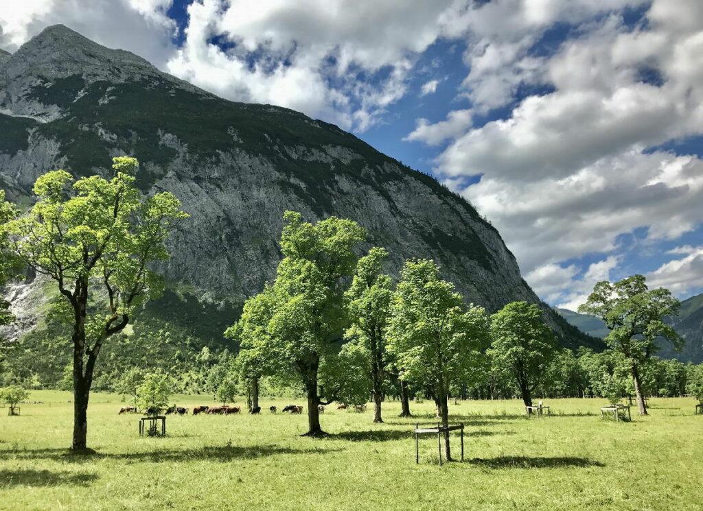Großer Ahornboden im Risstal - vergleich mal die Größe der Bäume mit den Kühen und den Bergen...