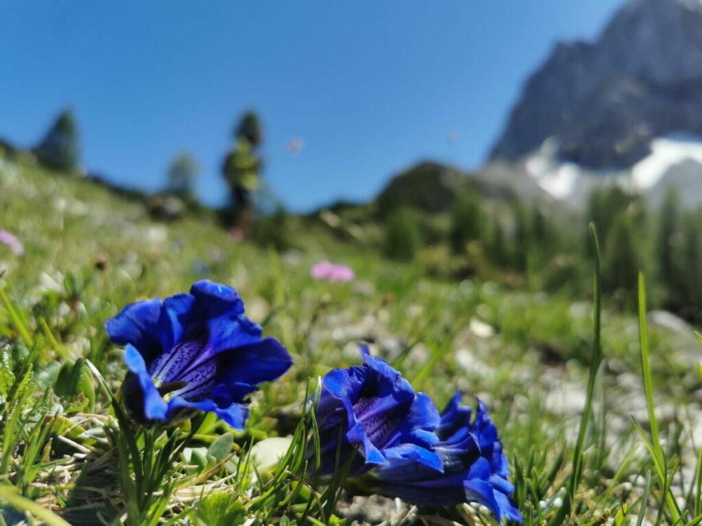 Plan deine Ahornboden Wanderung im Frühsommer! Dann findest du die Wiesen voll von Enzian.