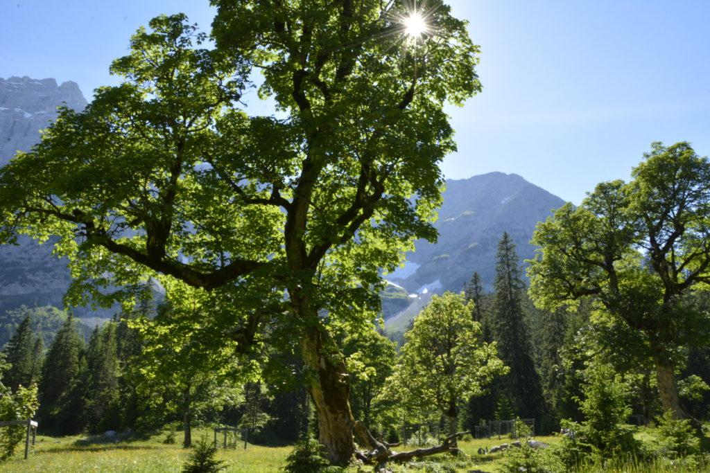Der Bergahorn - jahrhundertealte Bäume findest du hier in diesem Gebiet