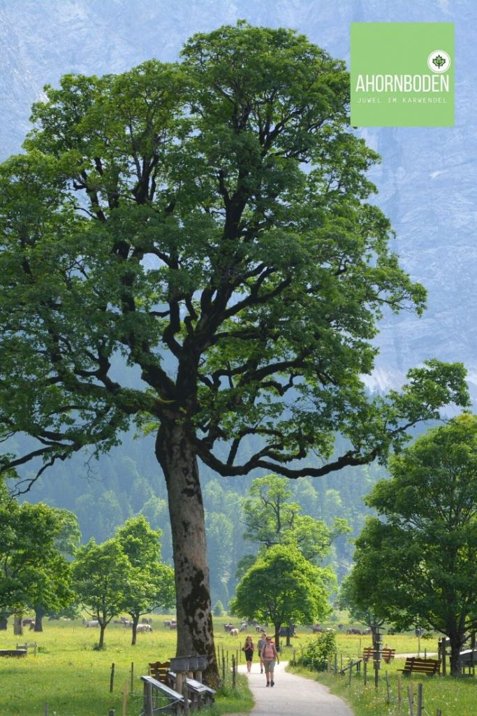 Karwendel wandern - so schön bei den riesigen Bäumen am Ahornboden