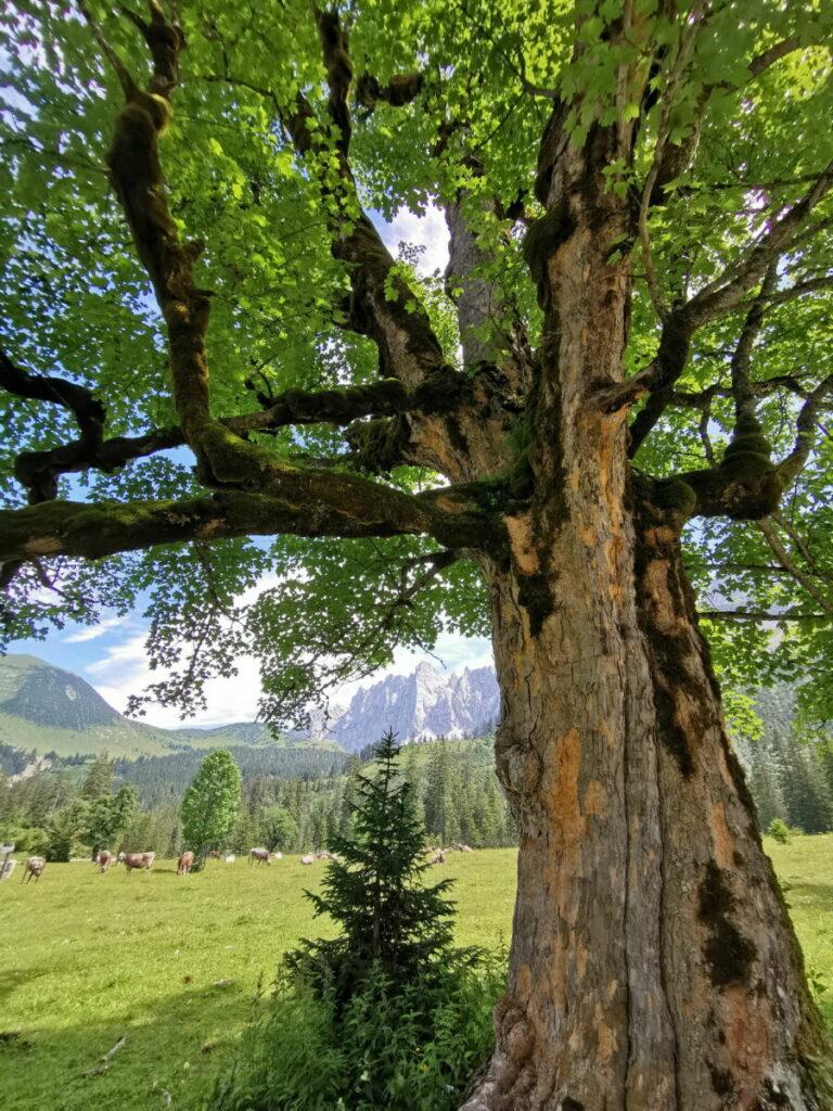 Kleiner Ahornboden - entdecke die jahrhundertealten Ahornbäume