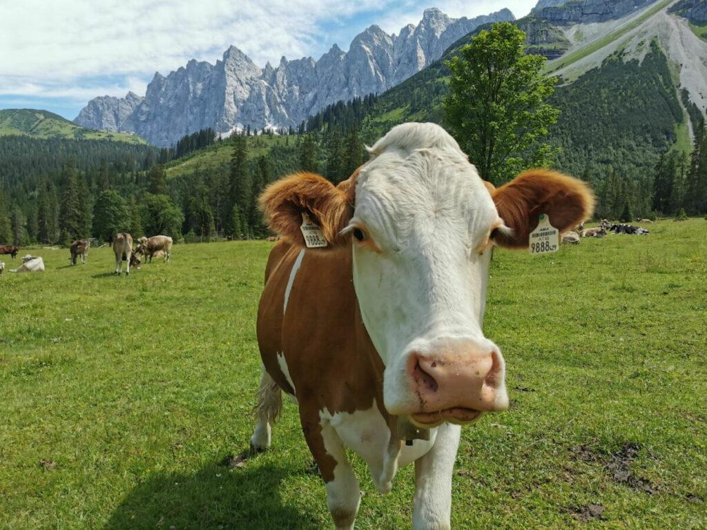 Kleiner Ahornboden Beweidung: Im Sommer sind die Kühe da