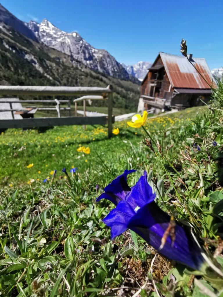 Frühling mit der Enzianblüte auf der Plumsjochhütte - oberhalb vom Großen Ahornboden